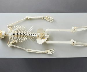 Build Your Own Life Size Human Skeleton